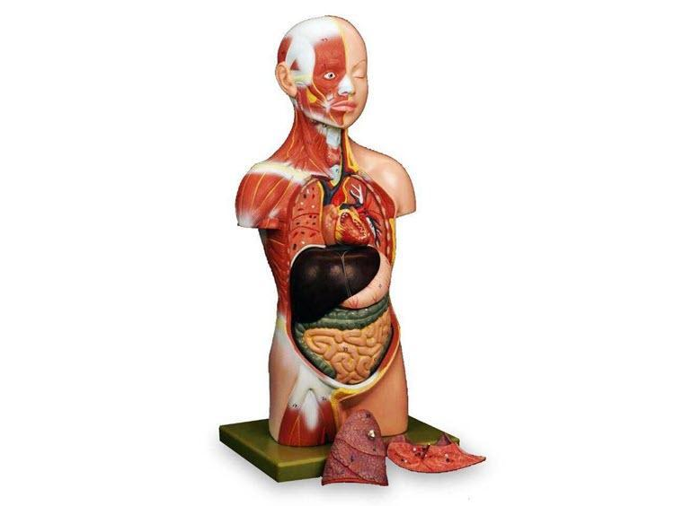 راهنمای خرید بازی آموزشی مولاژ آناتومی بدن انسان