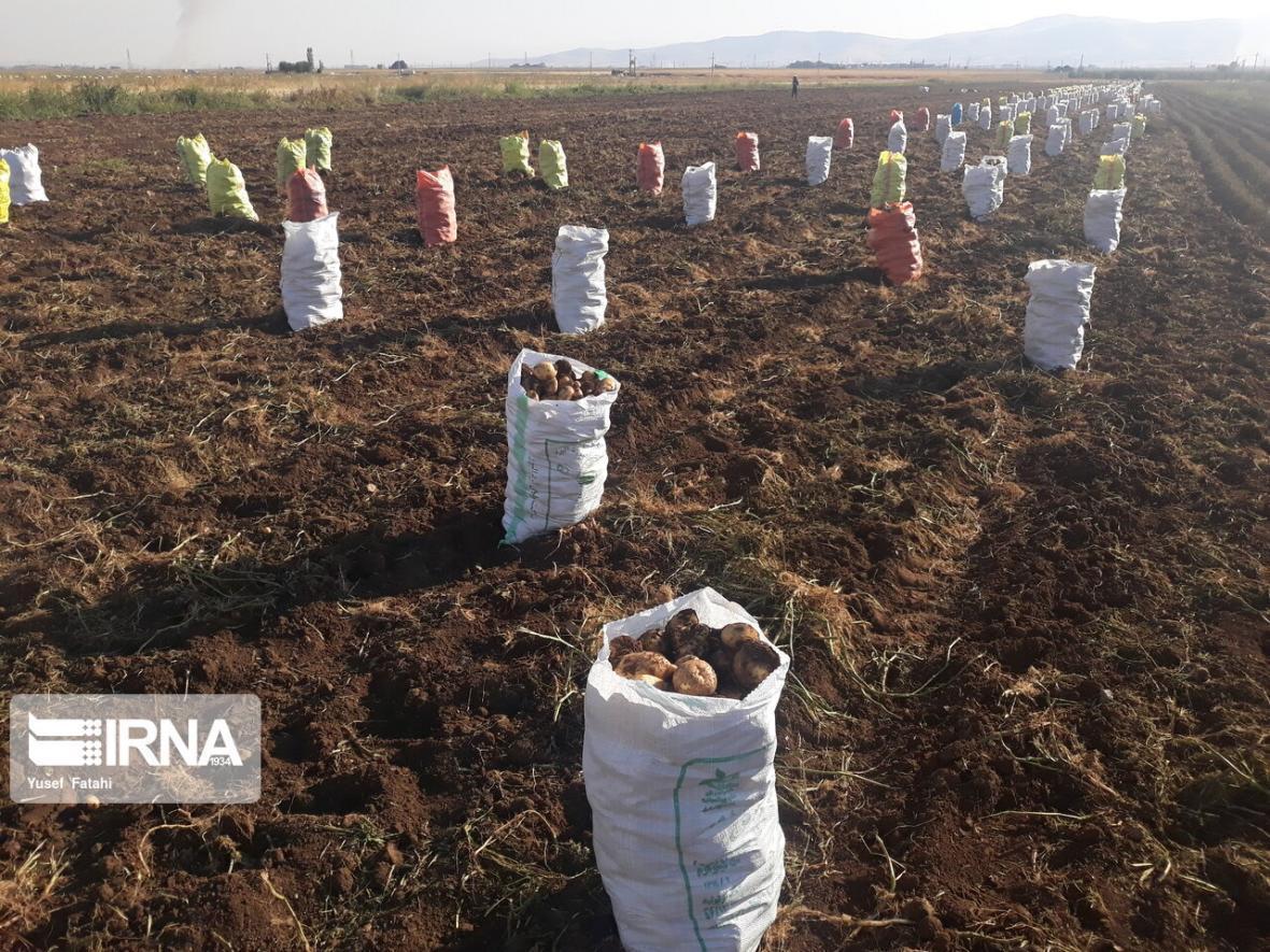 خبرنگاران سال جاری بیش از 24 هزار تن سیب زمینی در چالدران برداشت می گردد