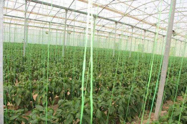 سطح گلخانه های شهرستان میرجاوه به 62هکتار افزایش می یابد