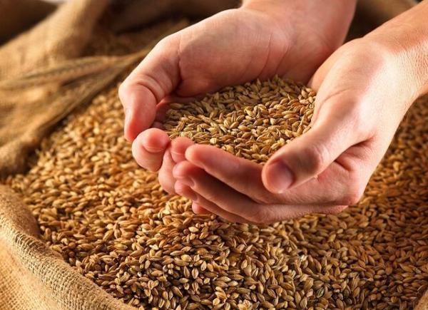 فراوری پایدار گندم یکی از ارکان امنیت غذایی کشور است