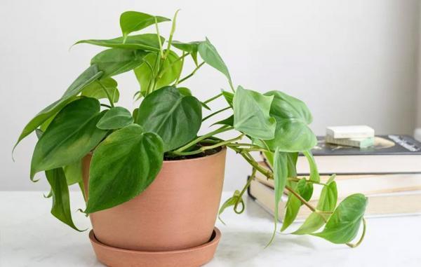 راهنمای کامل نگهداری از گیاه فیلودندرون در خانه